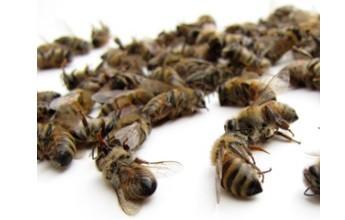 le declin des abeilles