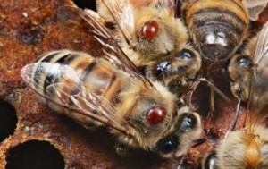 le declin des abeilleset le varroa