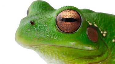 La grenouille stop population